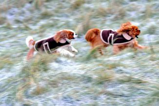 Cavaliers with Winter Coats