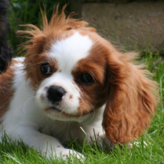 Dougall Pup
